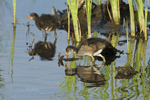 559500002 common gallinules gallinula galeata or common moorhens gallinula chloropus wild texas Chicks in Pond Anahuac National Wildlife Refuge, Texas. Extensive coverage of a wide range of avian and other wildlife species, all identified by Latin name.