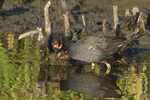 559500004 common gallinules gallinula galeata or common moorhens gallinula chloropus wild texas Adult Feeding Chick Anahuac National Wildlife Refuge, Texas. Extensive coverage of a wide range of avian and other wildlife species, all identified by Latin name.
