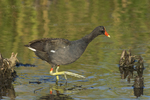 559500006 common gallinule gallinula galeata or common moorhen gallinula chloropus wild texas Adult in Pond Anahuac National Wildlife Refuge, Texas. Extensive coverage of a wide range of avian and other wildlife species, all identified by Latin name.