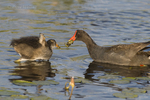 559500008 common gallinules gallinula galeata or common moorhens gallinula chloropus wild texas Adult Feeding Chick Anahuac National Wildlife Refuge, Texas. Extensive coverage of a wide range of avian and other wildlife species, all identified by Latin name.