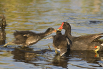 559500009 common gallinules gallinula galeata or common moorhens gallinula chloropus wild texas Adult Feeding Chicks Anahuac National Wildlife Refuge, Texas. Extensive coverage of a wide range of avian and other wildlife species, all identified by Latin name.