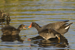 559500012 common gallinules gallinula galeata or common moorhens gallinula chloropus wild texas Adult Feeding Chicks Anahuac National Wildlife Refuge, Texas. Extensive coverage of a wide range of avian and other wildlife species, all identified by Latin name.