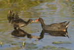 559500015 common gallinules gallinula galeata or common moorhens gallinula chloropus wild texas Adult Feeding Chicks Anahuac National Wildlife Refuge, Texas. Extensive coverage of a wide range of avian and other wildlife species, all identified by Latin name.