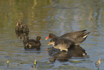 559500014 common gallinules gallinula galeata or common moorhens gallinula chloropus wild texas Adult Feeding Chicks Anahuac National Wildlife Refuge, Texas. Extensive coverage of a wide range of avian and other wildlife species, all identified by Latin name.