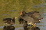 559500020 common gallinules gallinula galeata or common moorhens gallinula chloropus wild texas Adult Feeding Chick Anahuac National Wildlife Refuge, Texas. Extensive coverage of a wide range of avian and other wildlife species, all identified by Latin name.