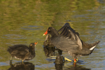 559500021 common gallinules gallinula galeata or common moorhens gallinula chloropus wild texas Adult Feeding Chick Anahuac National Wildlife Refuge, Texas. Extensive coverage of a wide range of avian and other wildlife species, all identified by Latin name.
