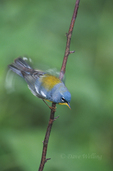 561000002 northern parula setophaga americana (was parula americana) wild texas Adult on Stick Fluttering Wings Rio Grande Valley, Texas. Extensive coverage of a wide range of avian and other wildlife species, all identified by Latin name.
