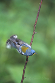 561000003 northern parula setophaga americana (was parula americana) wild texas Adult on Stick Fluttering Wings Rio Grande Valley, Texas. Extensive coverage of a wide range of avian and other wildlife species, all identified by Latin name.