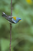 561000004 northern parula setophaga americana (was parula americana) wild texas Adult on Stick  Rio Grande Valley, Texas. Extensive coverage of a wide range of avian and other wildlife species, all identified by Latin name.
