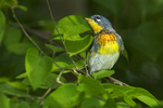 561000006 northern parula setophaga americana (was parula americana) wild texas Male on branch South Padre Island, Texas. Extensive coverage of a wide range of avian and other wildlife species, all identified by Latin name.