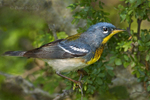 561000007 northern parula setophaga americana (was parula americana) wild texas Male on branch South Padre Island, Texas. Extensive coverage of a wide range of avian and other wildlife species, all identified by Latin name.