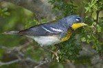 561000008 northern parula setophaga americana (was parula americana) wild texas Male on branch South Padre Island, Texas. Extensive coverage of a wide range of avian and other wildlife species, all identified by Latin name.