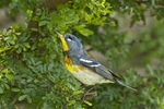 561000009 northern parula setophaga americana (was parula americana) wild texas Male on branch South Padre Island, Texas. Extensive coverage of a wide range of avian and other wildlife species, all identified by Latin name.