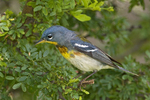 561000010 northern parula setophaga americana (was parula americana) wild texas Male on branch South Padre Island, Texas. Extensive coverage of a wide range of avian and other wildlife species, all identified by Latin name.