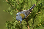 561000019 northern parula setophaga americana - was parula americana wild texas male perched upside down on small branch Jasper County, Texas. Extensive coverage of a wide range of avian and other wildlife species, all identified by Latin name.