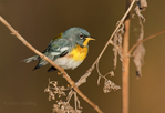 561000024 a wild male northern parula setophaga americana - was parula  parula americana perches on a small plant near caddo lake in marion county texas. Extensive coverage of a wide range of avian and other wildlife species, all identified by Latin name.