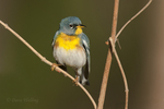 561000025 a wild male northern parula setophaga americana - was parula americana perches on a small plant near caddo lake in marion county texas. Extensive coverage of a wide range of avian and other wildlife species, all identified by Latin name.