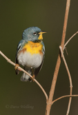 561000027 a wild male northern parula setophaga americana - was parula americana perches on a small plant near caddo lake in marion county texas. Extensive coverage of a wide range of avian and other wildlife species, all identified by Latin name.