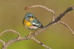 561000028 a wild male northern parula setogophus americana - was parula americana perches on a small plant near caddo lake in marion county texas. Extensive coverage of a wide range of avian and other wildlife species, all identified by Latin name.