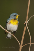 561000032 a wild male northern parula setophaga americana - was parula americana perches on a small plant near caddo lake in marion county texas. Extensive coverage of a wide range of avian and other wildlife species, all identified by Latin name.