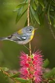 561000035 a wild female northern parula setophaga americana - was parula americana wood warbler perches in a bottlebrush tree on south padre island cameron county texas. Extensive coverage of a wide range of avian and other wildlife species, all identified by Latin name.
