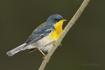561010007 tropical parula setophaga pitiayumi  - was parula pitiayumi - wild texas  male perched on branch Kenedy County, Texas. Extensive coverage of a wide range of avian and other wildlife species, all identified by Latin name.