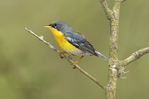 561010008 tropical parula setophaga pitiayumi  - was parula pitiayumi - wild texas  male perched on branch Kenedy County, Texas. Extensive coverage of a wide range of avian and other wildlife species, all identified by Latin name.