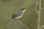 561010009 tropical parula setophaga pitiayumi  - was parula pitiayumi - wild texas  male perched on branch Kenedy County, Texas. Extensive coverage of a wide range of avian and other wildlife species, all identified by Latin name.