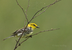 591400021 a wild male  black-throated green warbler setophaga virens - was dendroica virens perches in a small mesquite bush on south padre island texas. Extensive coverage of a wide range of avian and other wildlife species, all identified by Latin name.