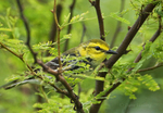 591400023 a wild male  black-throated green warbler setophaga virens - was dendroica virens perches in a small mesquite bush on south padre island texas. Extensive coverage of a wide range of avian and other wildlife species, all identified by Latin name.
