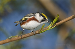 591740013 a wild male chestnut-sided warbler setophaga pensylvanica - was dendroica pensylvanica - perches on a dead branch on south padre island cameron county texas united states. Extensive coverage of a wide range of avian and other wildlife species, all identified by Latin name.