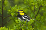 591850038 a wild federally endangered male golden-cheeked warbler setophaga chrysoparia - was dendroica chrysoparia - perches in a fir tree in the texas hill country texas united states. Extensive coverage of a wide range of avian and other wildlife species, all identified by Latin name.