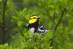 591850039 a wild federally endangered male golden-cheeked warbler setophaga chrysoparia - was dendroica chrysoparia - perches in a fir tree in the texas hill country texas united states. Extensive coverage of a wide range of avian and other wildlife species, all identified by Latin name.