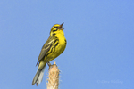 592260018 a wild male prairie warbler setophaga discolor - was dendroica discolor - sings or vocalizes to defend territory from the top of a long Leaf pine pinus palustris in the angelina national forest jasper county texas. Extensive coverage of a wide range of avian and other wildlife species, all identified by Latin name.