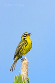 592260019 a wild male prairie warbler setophaga discolor - was dendroica discolor - sings or vocalizes to defend territory from the top of a long Leaf pine pinus palustris in the angelina national forest jasper county texas. Extensive coverage of a wide range of avian and other wildlife species, all identified by Latin name.