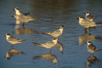 581643014 a small flock of common terns sterna hirundo in summer plumage rest in a small cove at salton sea national wildlife refuge in imperial county california. Extensive coverage of a wide range of avian and other wildlife species, all identified by Latin name.