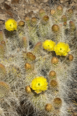 161260008 a wild mojave prickly pear cactus opuntia polycantha var erinacea produces large bright yellow flowers near eureka dunes inyo county california. Extensive coverage of a wide range of flora and fauna species, all identified by Latin name.