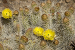 161260009 a wild mojave prickly pear cactus opuntia polycantha var erinacea produces large bright yellow flowers near eureka dunes inyo county california. Extensive coverage of a wide range of flora and fauna species, all identified by Latin name.