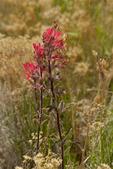 163510001 desert paintbrush castilleja angustifolia flowers along the road from Hwy 395 to eureka dunes california