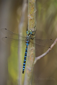 339570005 a wild male paddle-tailed darner aeshna palmata perches on a tree branch along the owens river near bishop inyo county california. Extensive coverage of a wide range of insect and other wildlife species, all identified by Latin name.