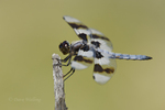 389340005 a wild male eight-spotted skimmer libellula forensis perches on a dead branch at de chambeau ponds mono county california united states. Extensive coverage of a wide range of insect and other wildlife species, all identified by Latin name.