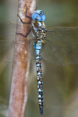 339360046 a wild male blue-eyed darner rhionaeschna multicolor perches on a bush along a canal off jean leblanc road near bishop inyo county california united states. Extensive coverage of a wide range of insect and other wildlife species, all identified by Latin name.