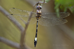 339830007 a wild male pale-faced clubskimmer brechmorhaga mendax perches on a plant stem near roper lake in roper state park graham county arizona. Extensive coverage of a wide range of insect and other wildlife species, all identified by Latin name.