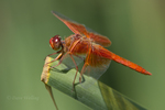 389310023 a wild male flame skimmer libellula saturata perches on a cattail reed at fullerton arboretum fullerton california united states. Extensive coverage of a wide range of insect and other wildlife species, all identified by Latin name.