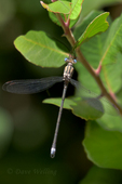 390050003 a wild male california spreadwing archilestes californicus perches along oak creek in oak creek nature preserve in anaheim orange county california united states. Extensive coverage of a wide range of insect and other wildlife species, all identified by Latin name.