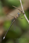 390050004 a wild male california spreadwing archilestes californicus perches along oak creek in oak creek nature preserve in anaheim orange county california united states. Extensive coverage of a wide range of insect and other wildlife species, all identified by Latin name.