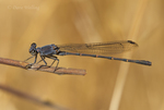 338570018 a wild male  sooty dancer damselfly argia lugens perches on a dead stick along piru creek at frenchman's flat los angeles county california. Extensive coverage of a wide range of insect and other wildlife species, all identified by Latin name.