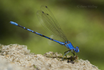 338610001 a wild male vivid dancer argia vivida perches on a rock along piru creek at frenchmans flat los angeles county california. Extensive coverage of a wide range of insect and other wildlife species, all identified by Latin name.