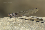 338610008 a wild female vivid dancer argia vivida perches on a rock along piru creek at frenchmans flat los angeles county california. Extensive coverage of a wide range of insect and other wildlife species, all identified by Latin name.
