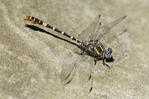 385380037 a wild male serpent ringtail dragonfly erpetogomphus lampropeltis perches on a rock along piru creek at frenchmans flat los angeles county california. Extensive coverage of a wide range of insect and other wildlife species, all identified by Latin name.